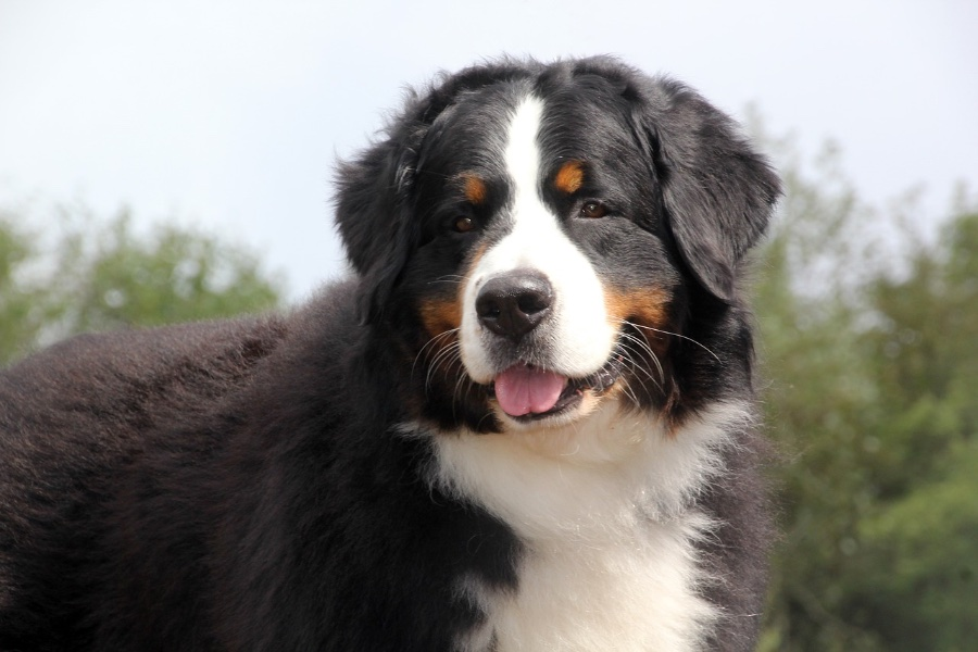 bernese-mountain-dog-3635106_1280.jpg